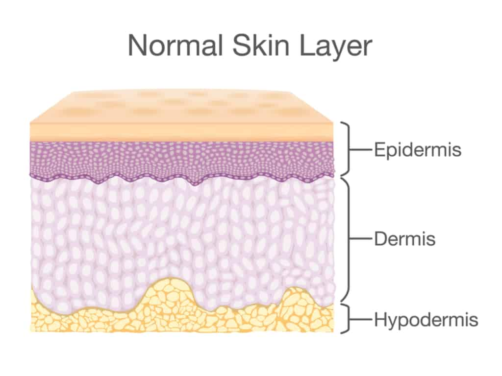 cross-section of skin layers