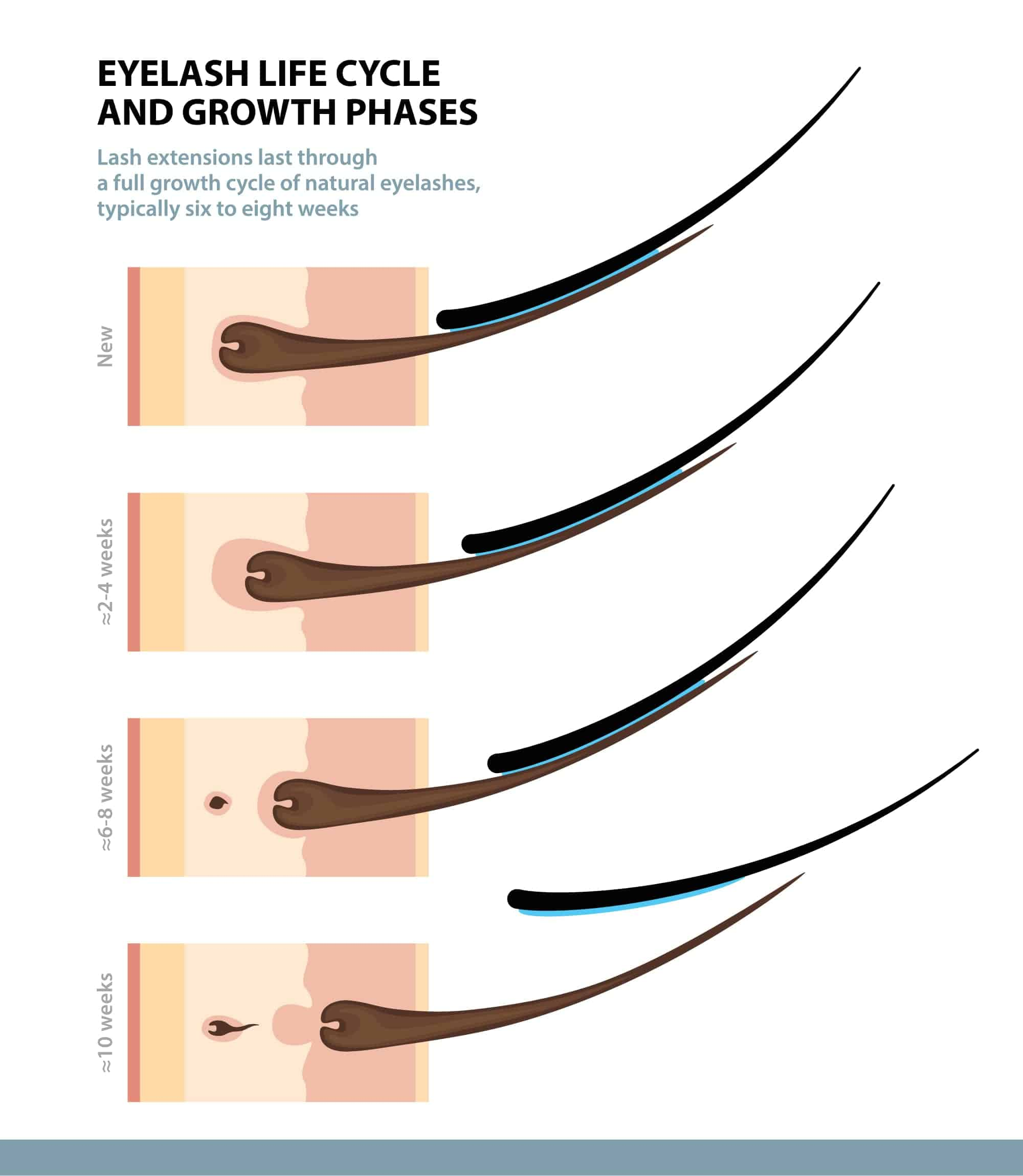 diagram shows eyelash growth phases