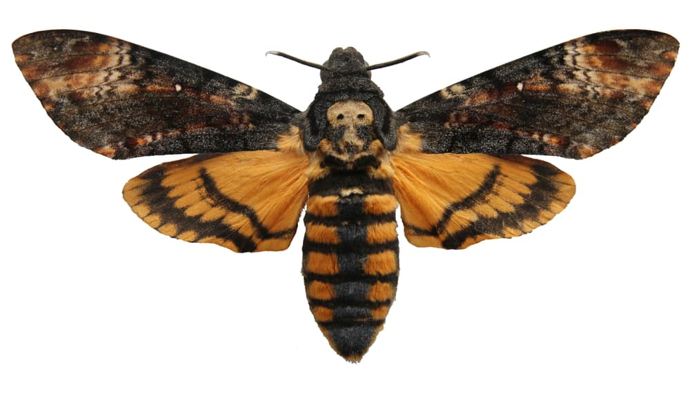 death's-head hawkmoth on white background
