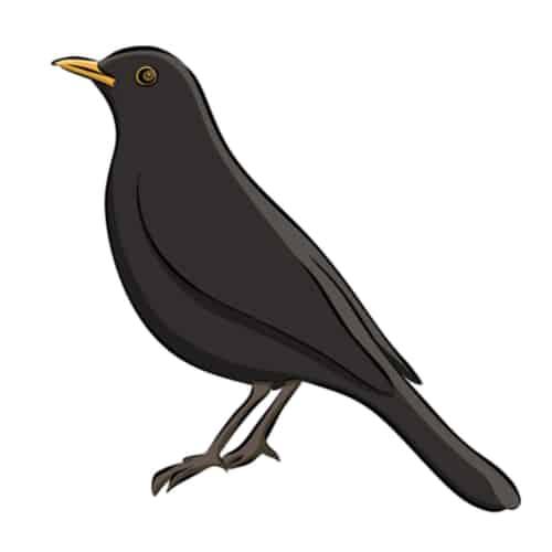 blackbird tattoo sketch