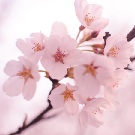 The Gorgeous Meanings Behind Cherry Blossom Tattoos