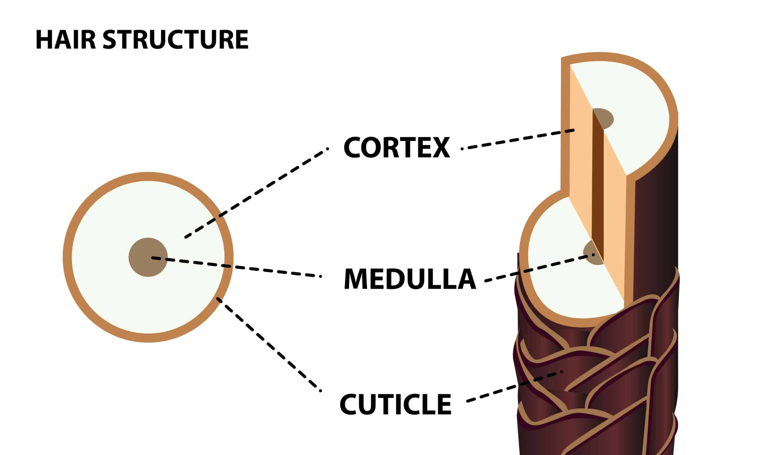 cross-section of hair shaft