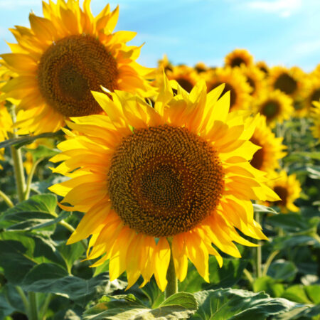 The Meanings of Sunflower Tattoos