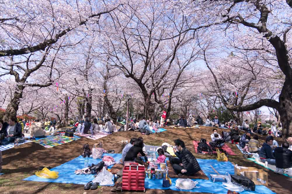 groups of people sitting on blankets under dozens of cherry blossom trees
