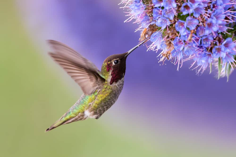 hummingbird in flight near flower