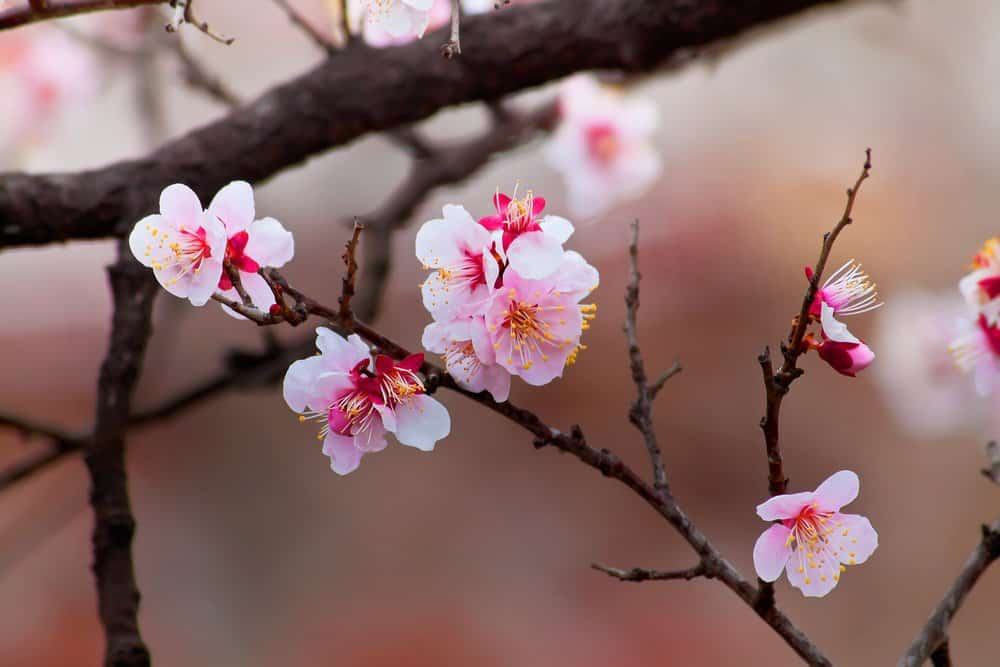 sparse clusters of pink sakura on a dark branch