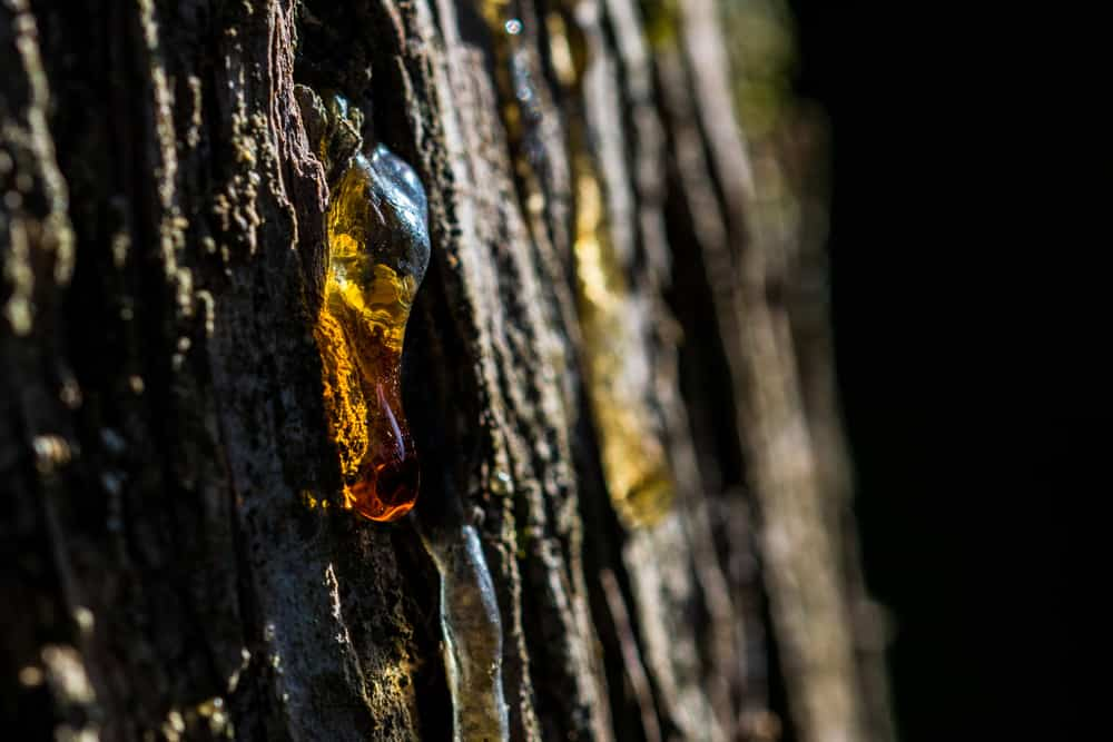 tree sap on trunk