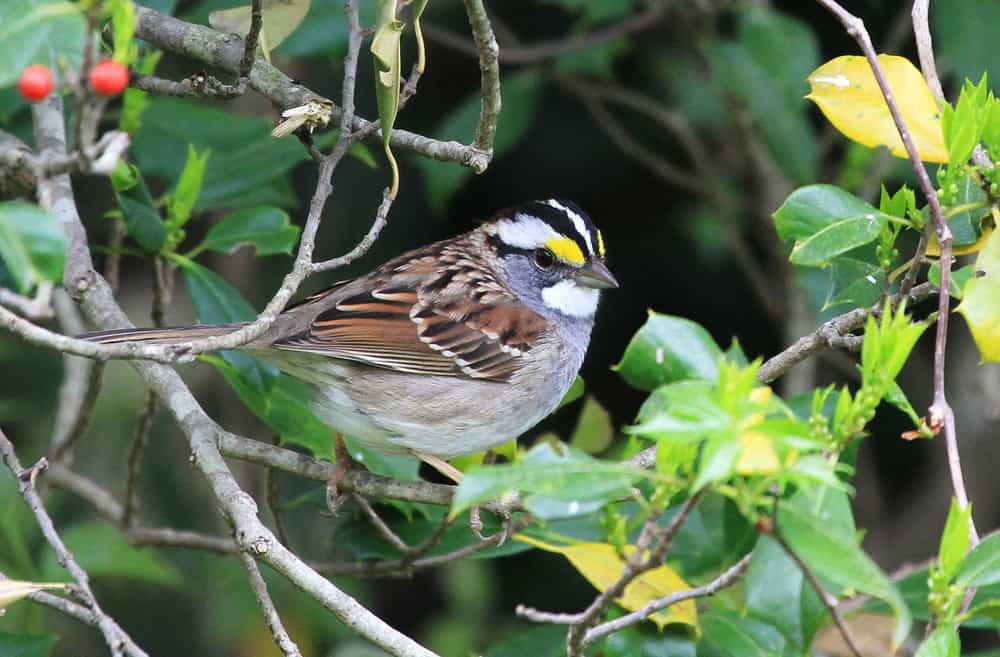 white-throated sparrow perched in a bush