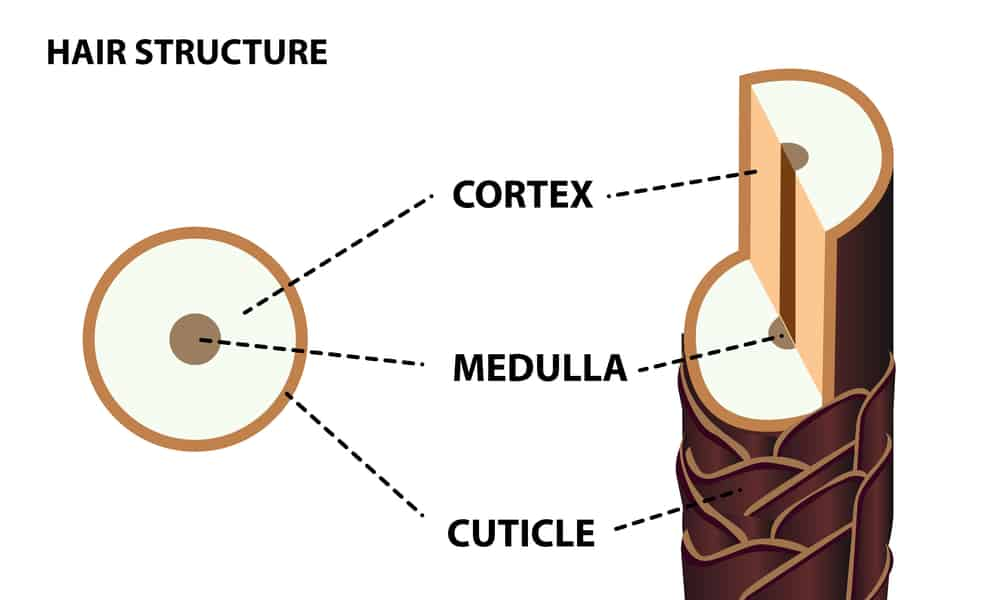 cross-section of hair strand