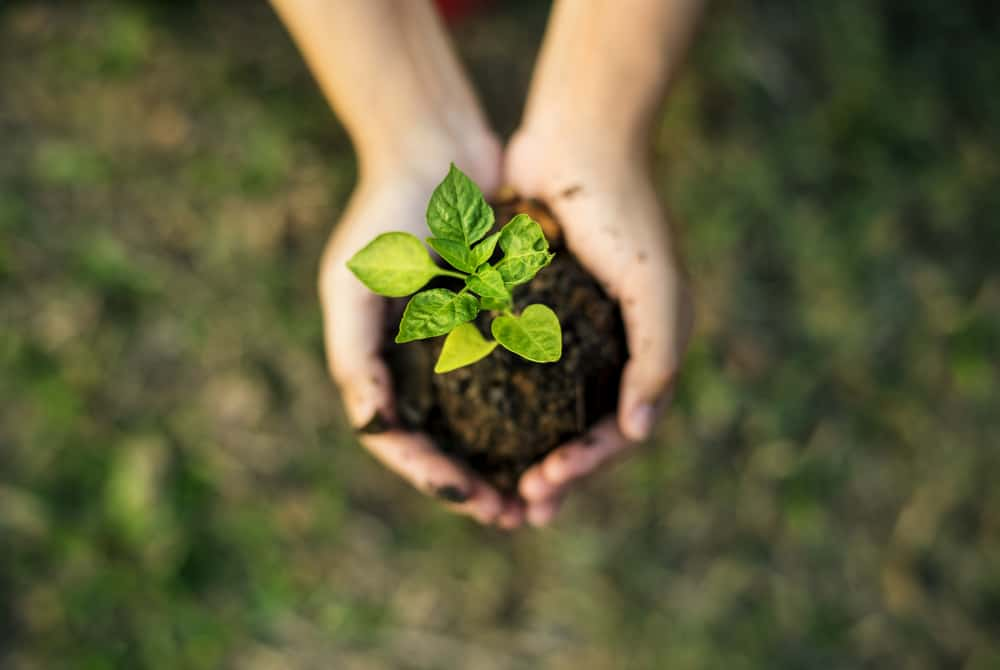 hands cupping sprouted plant in dirt
